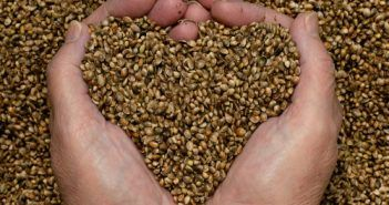 Where to Buy Weed Seeds Online