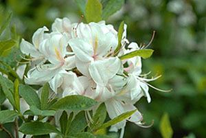 White lights rododendron University of Minnesota gives some good suggestions here for shrubs best grown in MN.