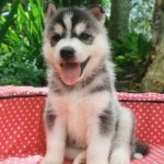 Siberian Husky Puppy!! To Do List: 1. Landscape Backyard 2. Get 2 Siberian Husky Puppies (Raja needs some friends) :)