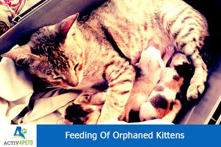 Feeding Of Orphaned Kittens Kitten care, Kittens, Cats