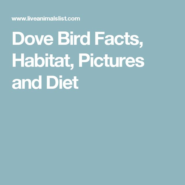 Dove Bird Facts, Habitat, Pictures and Diet