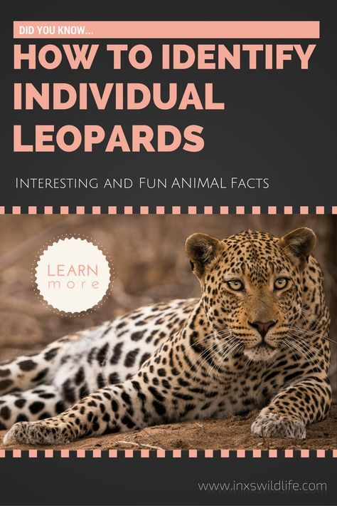 Did you know... Get more fun & interesting facts about wild animals. In this post you will learn how to identify individual leopards.  #wildlifephotography #inxswildlife #animalfacts #leopard #interestinganimalfacts