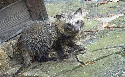 Raccoon Dogs Skinned Alive To Make UGG Boots.   Humane Society International tying the famous Australian Ugg boot company to the horrific animal cruelty in the fur trade.