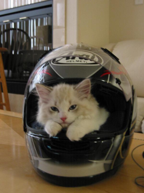 Cute Cat In Arai Helmet Cats In Helmets Gatos