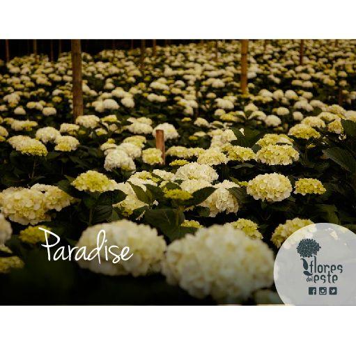 Paradise#hydrangeas #flowers #shine #love #homedeco #springflowers