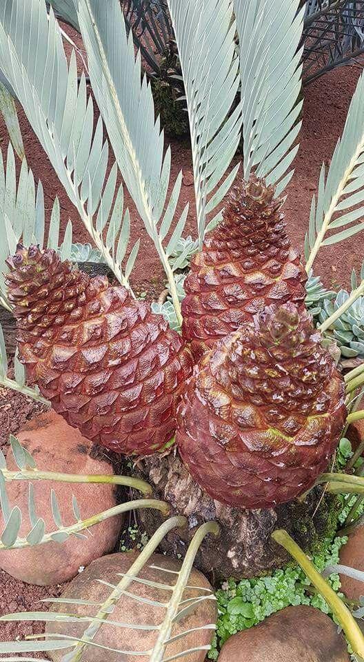 E.eugene-maraisii female cones Jan.2017