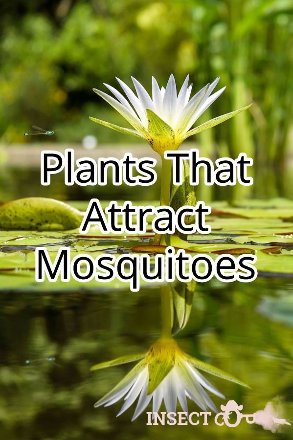 Plants That Attract Mosquitoes Mosquitoplants While There Are Plants Which Keep Mosquitoes Away There Are Mosquito Plants Mosquito Repelling Plants Mosquito
