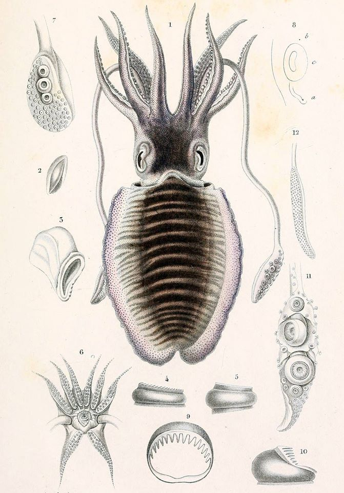 Mątwa pospolita /Sepia officinalis 1-5/ i kilka innych gatunków mątwy /S. elegans 6-8, S. inermis 9-10, S. tuberculata 10, S. ornata 12/ (Orbigny 1845)