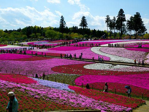 芝桜 by walkon0202, via Flickr