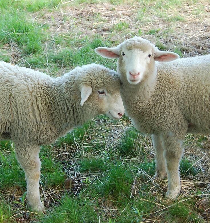 ♥♥ Sheep ♥♥