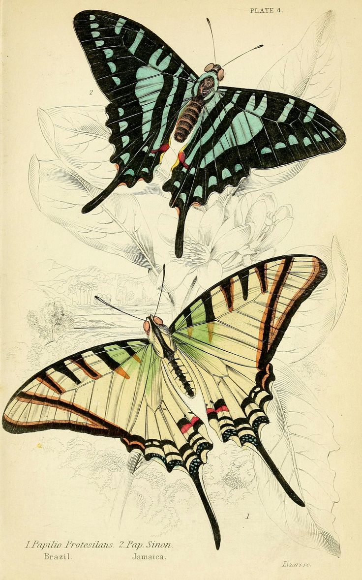 Scientific Illustration — wapiti3: Foreign butterflies By Duncan, James,...