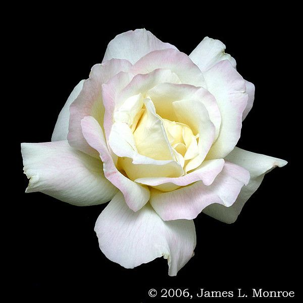 *Hybrid Tea Rose 'Garden Party'