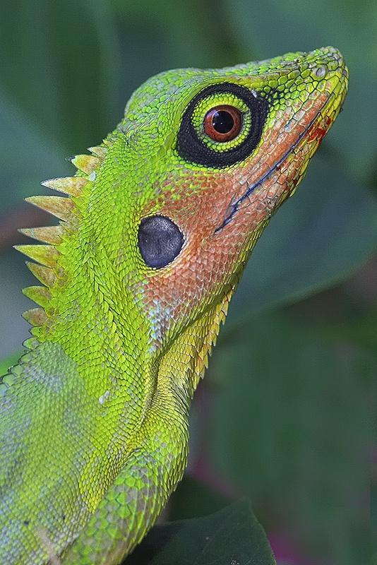 El lagarto con cresta verde (Bronchocela cristatella) es un lagarto agamid encontrado en el sudeste asiático: Malasia (Malasia occidental y Borneo), Singapur, Indonesia, Filipinas (Palawan, Calamian Islands, Panay, Luzon), Sur de Tailandia, Y la India (Islas Nicobar)