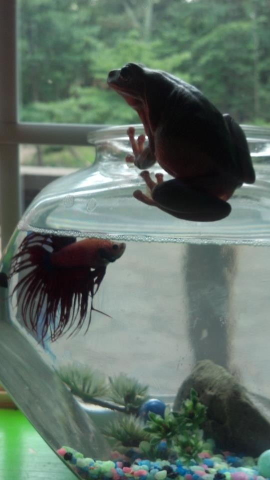 17 best images about flora and fauna on pinterest exotic for Japanese fighter fish
