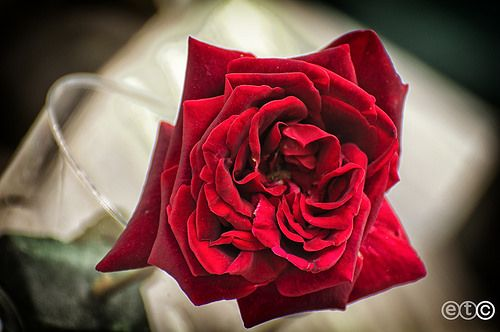 Red rose for a special day