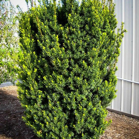 best evergreen bushes images on, Natural flower