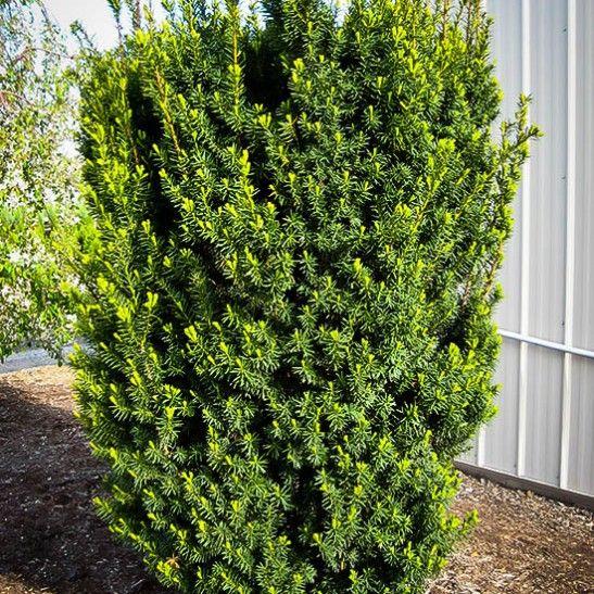 25 best ideas about yew shrub on pinterest blue spruce