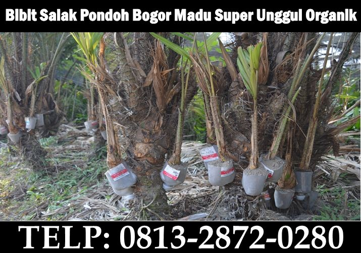 Kebun Bibit Salak Pondoh BogorMadu Super unggul organik manis Cangkok. HP: 081328720280 (Drs.Bambang)