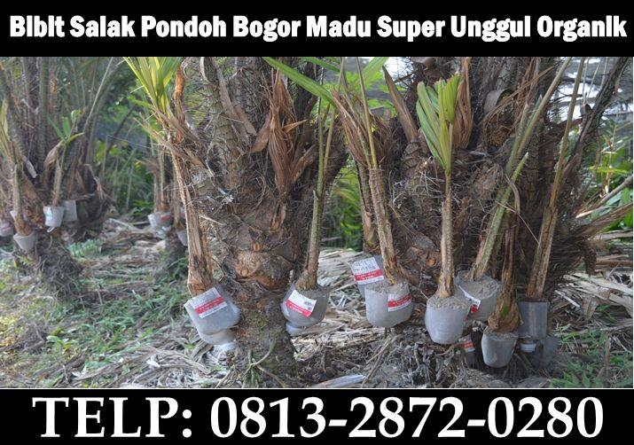 bibit salak pondoh Bogor Madu Super Unggul Organik Sleman. HUB : 0813-2872-0280
