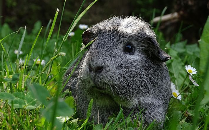 Download wallpapers gray guinea pig, cute animals, green grass, pets, guinea pig