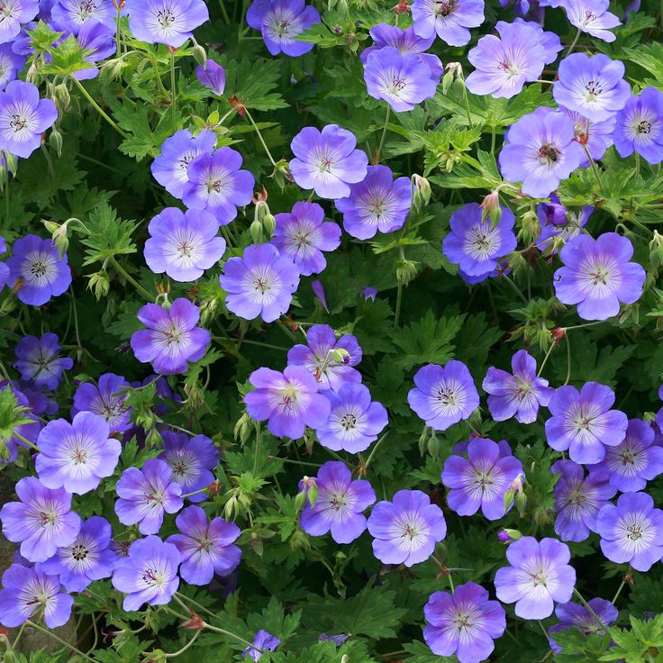 Geranium 'Rozanne' - Perennial & Biennial Plants - Thompson & Morgan