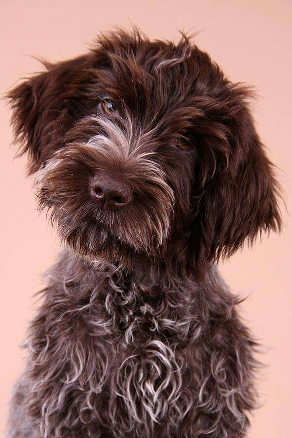 Sabine Nielsen ~ Wirehaired Pointing Griffon Pup ~ Classic Look