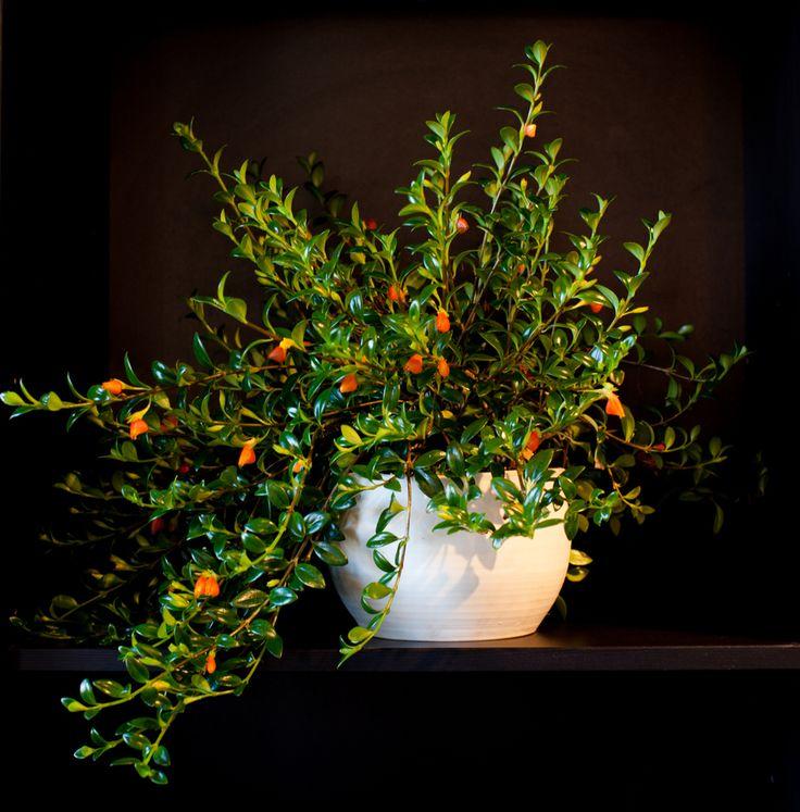 Columnea gloriosa ~ Goldfish Plant