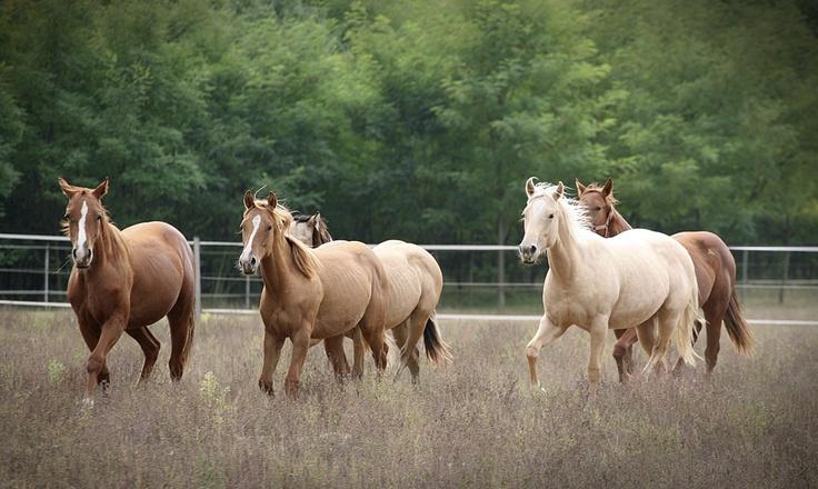 Quarter horse www.hevesifoto.hu