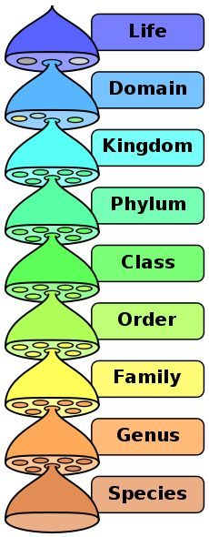The hierarchy of biological classification's eight major taxonomic ranks, which is an example of definition by genus and differentia. Life is divided into domains, which are subdivided into further groups. Intermediate minor rankings are not shown. ~ Archaea, Domain (and Kingdom) Eukarya, Domain Protista, Kingdom Fungi, Kingdom Animalia, Kingdom Plantae, Kingdom Bacteria, Domain (and Kingdom) References: 1.↑ Carl R. Woese, Otto Kandler, Mark L. Wheelis