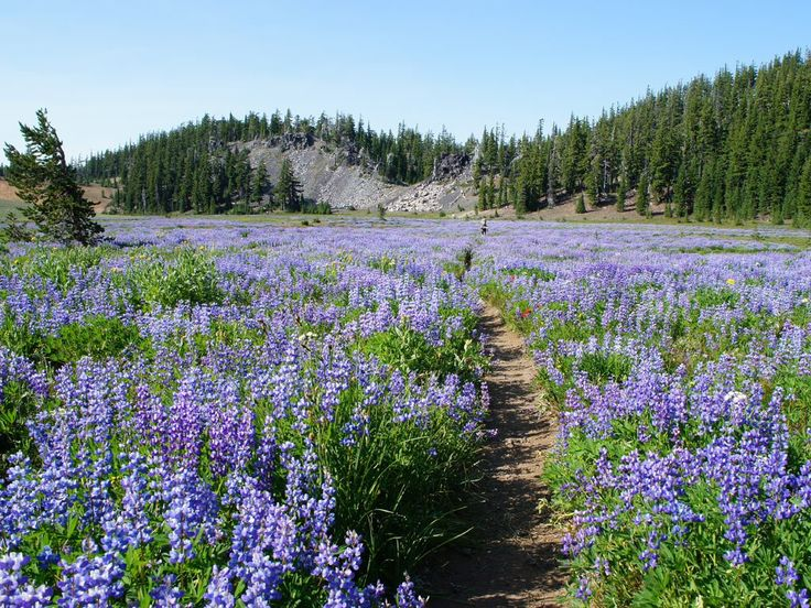 Pacific Crest Trail, Oregon - lupine in the Three Sisters Wilderness https://plus.google.com/u/0/116865882818663182611/posts