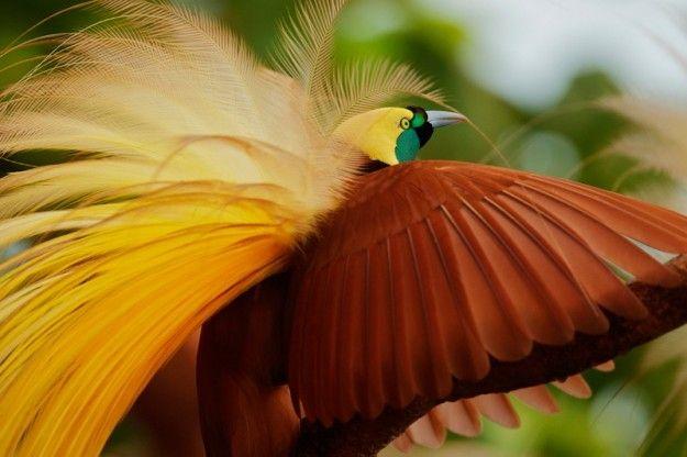 Straordinario piumaggio di questo uccello del paradiso maggiore