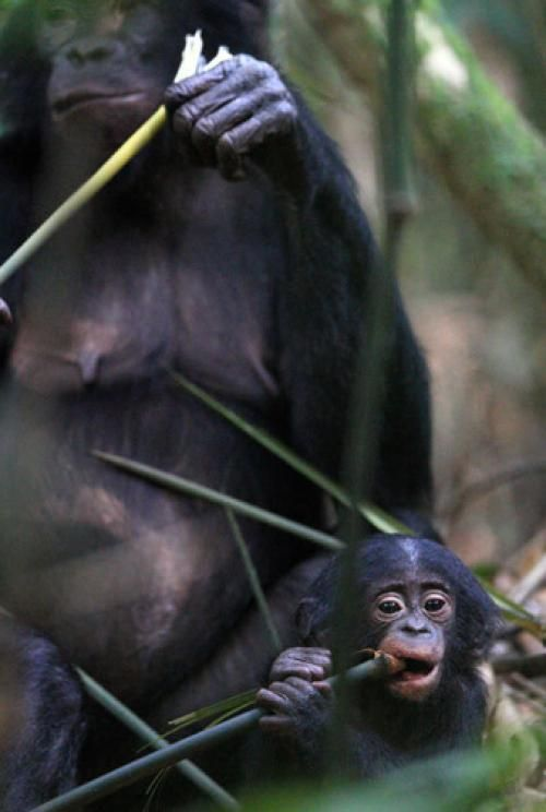 Bonobos stay young longer: Unlike humans and chimpanzees, bonobos retain elevated thyroid hormones well into adulthood