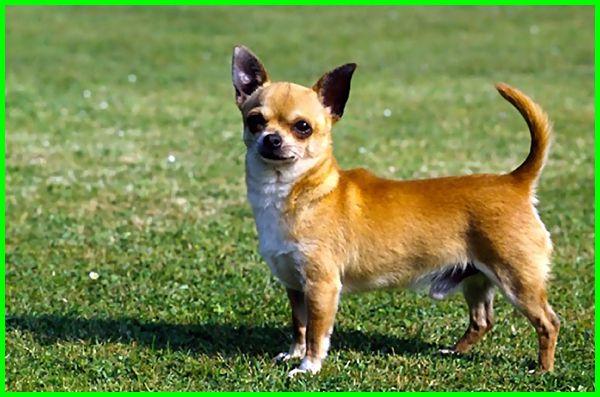 5 Jenis Anjing Kecil Yang Tidak Tumbuh Besar Daftarhewan Com Di 2020 Anjing Anjing Pug Hewan
