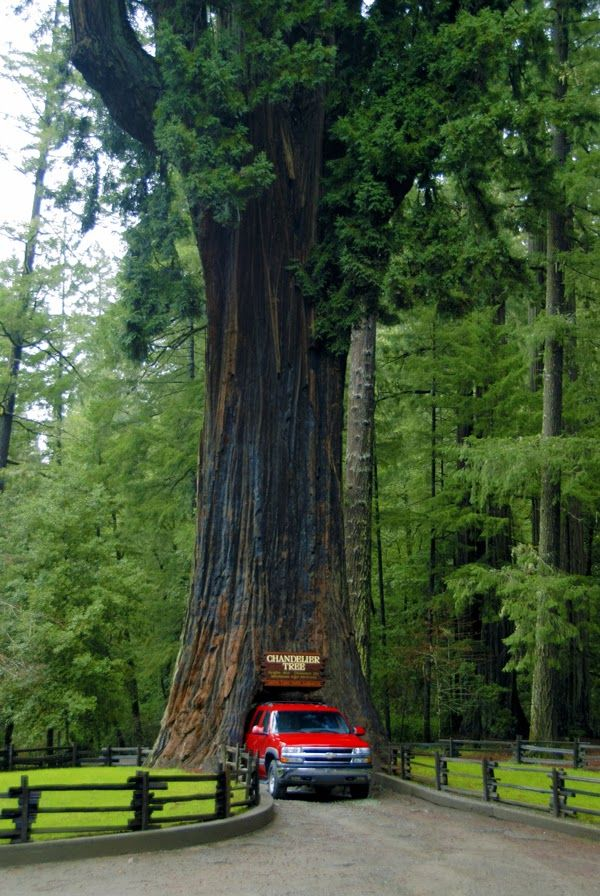 The Chandelier Tree in Redwood National and State Parks, California United States ©  Ful_red