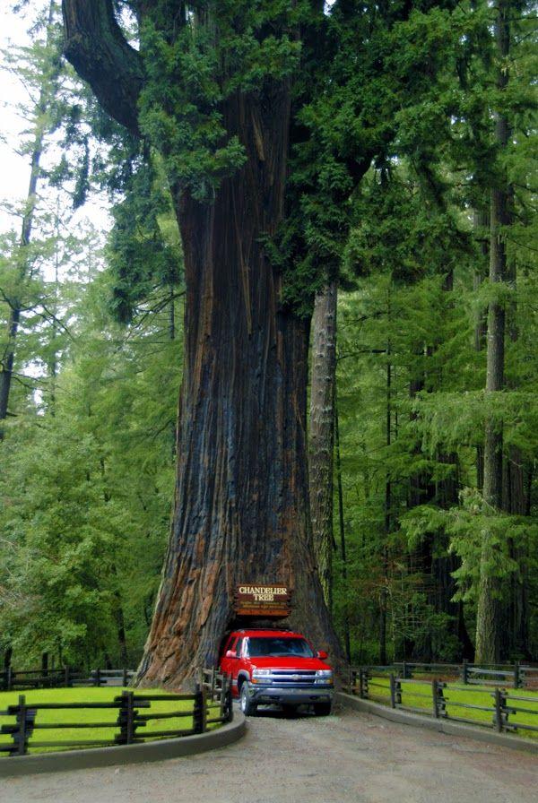 Un camino que atraviesa un árbol en los Parques Nacionales y Estatales de #Redwood, ubicados a lo largo de la costa norte de #California.
