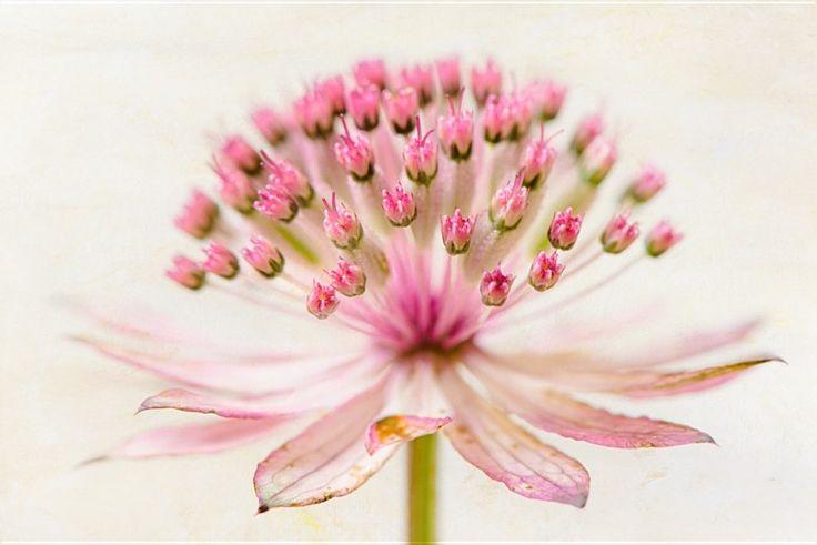 Blossom - Große Sterndolde