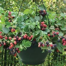 Rubus Black Cascade 1 Pre-Planted - special blackberry variety to grow in hanging baskets.