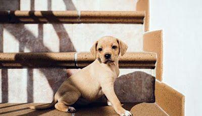 CACHORROS EN ADOPCIÓN: 2 cachorros hembra tipo labrador
