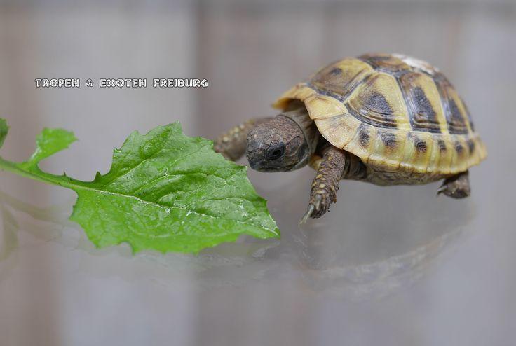 Griechische Landschildkröte -Testudo hermanni böttgeri