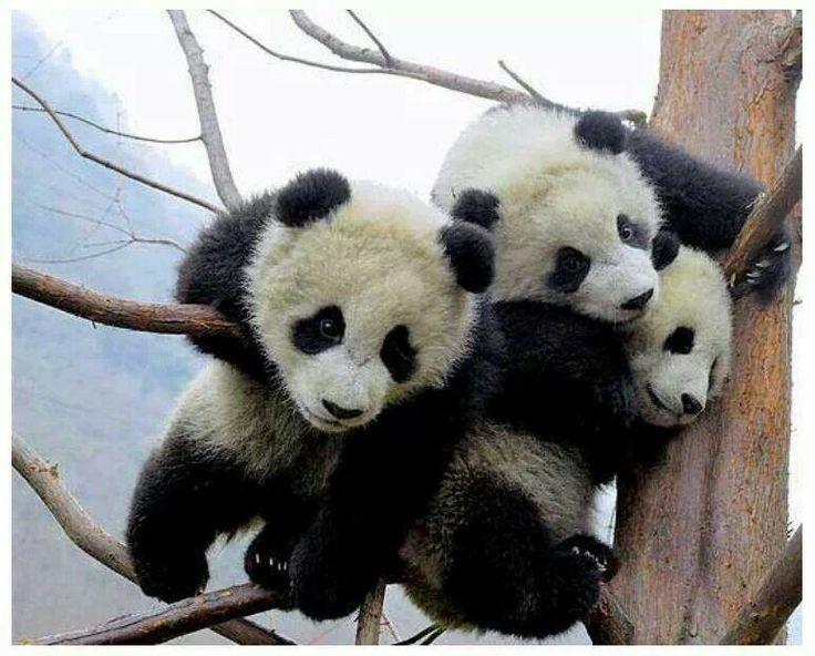 Panda Bears:Cute!