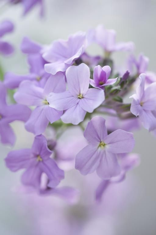 Hesperis matronalis, Purple-violet Seeds £1.85 from Chiltern Seeds - Chiltern Seeds Secure Online Seed Catalogue and Shop