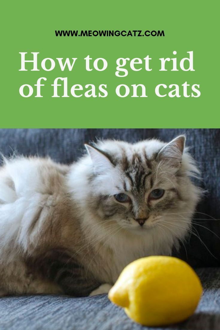 How To Get Rid Of Fleas On Cats Cat Fleas Fleas On Kittens Flea Treatment