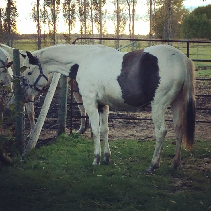 "Grullo tovero APHA mare ""Hollywood Fancy Face"""