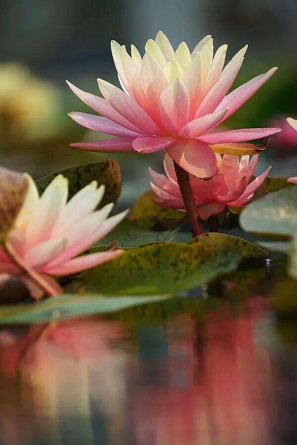 Flor de loto.                                                                                                                                                                                 Más