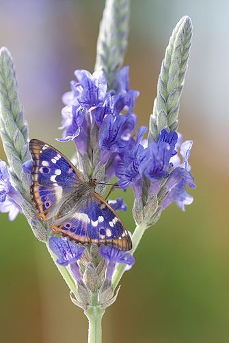 Lesser Purple Butterfly (Apatura ilia)                                                                                                                                                                                 More