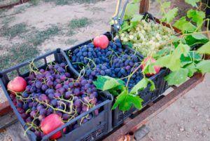 Ζεολιθικά αμπέλια και μηλιές στο Σάκκο Νέας Ορεστιάδας