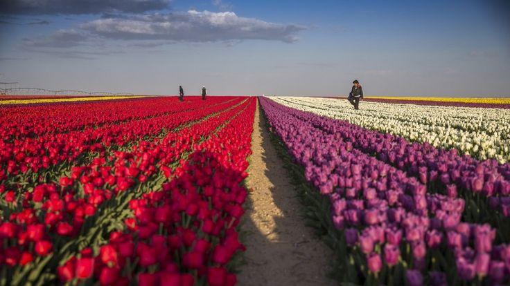 Tulip fields in Karatay, Konya, Turkey.