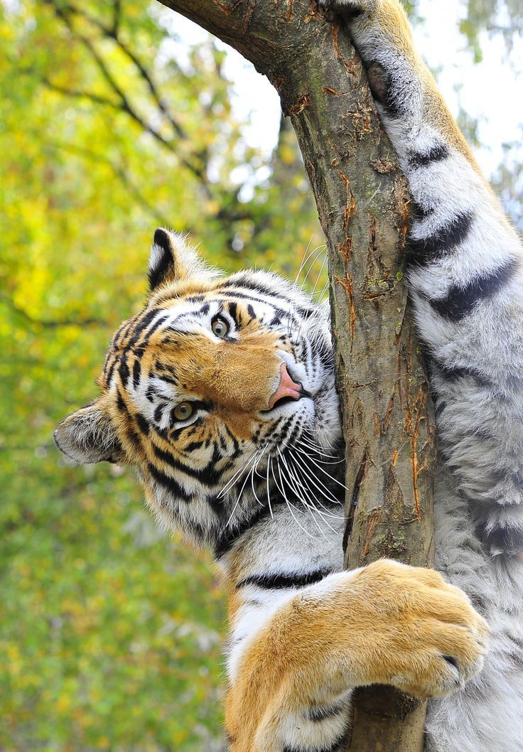 an overview of the animal species the siberian tiger Differences between the bengal tiger and the siberian tiger both belonging to the species panthera thigris, the bengal tiger is known by its scientific name panthera tigris tigris whil.