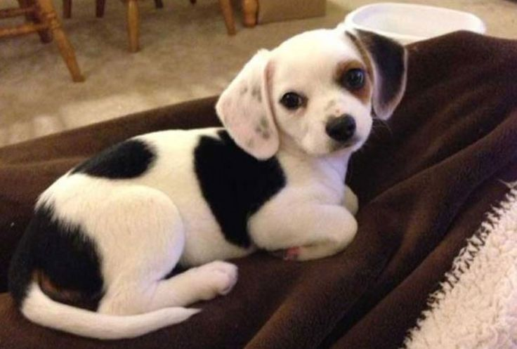 Beagle y Chihuahua