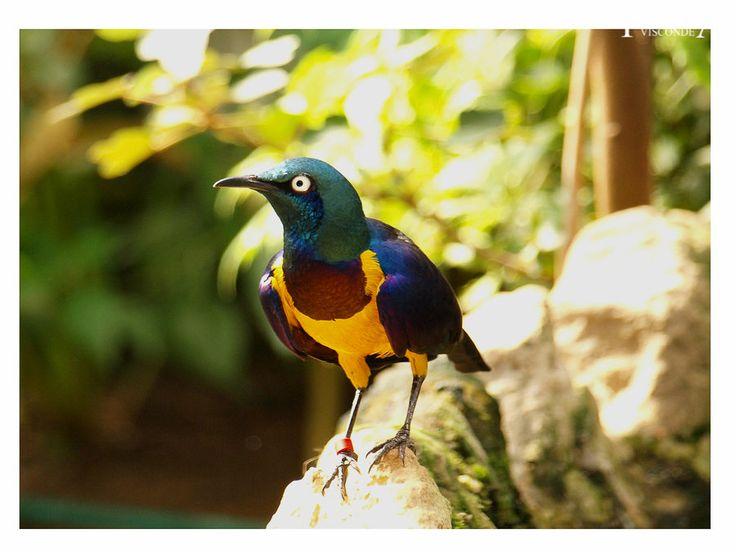 Melro Peito Dourado Golden-breasted Starling - Aves Ornamentais - Pássaros…